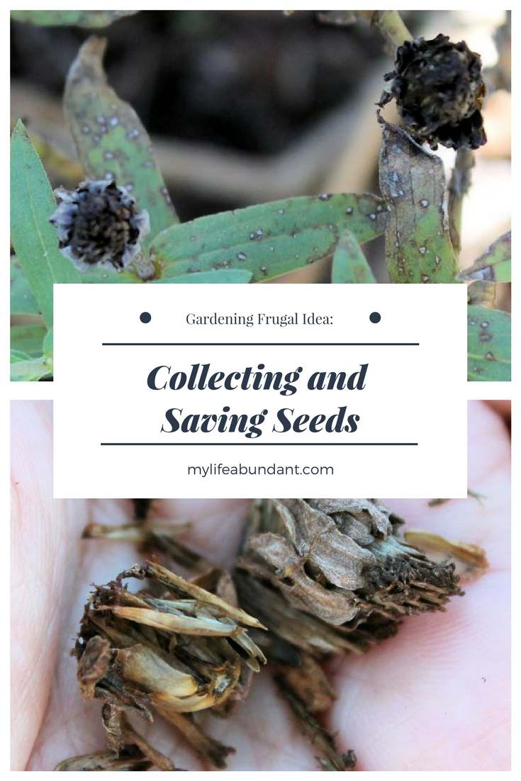 One way to save money while gardening is by collecting and saving seeds. Easy to do and store for the next season.