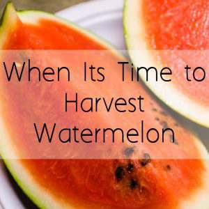 Have you wondered how to harvest a watermelon? Here are a few easy steps to follow to harvesting the perfect watermelon this summer