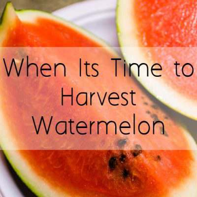 When to Harvest Watermelon