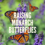 Raising Monarch butterflies at home are easy and a great learning tool for the kids. And it's so much fun too!